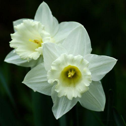 洋水仙(ようずいせん) Narcissus