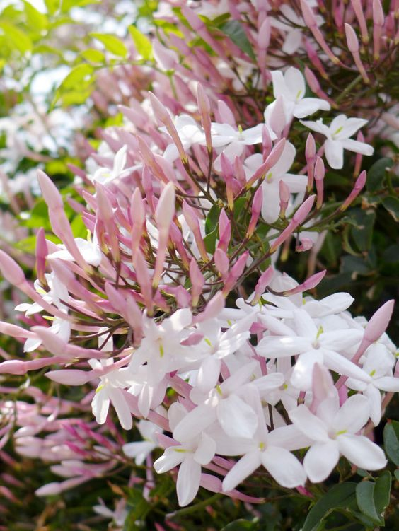 Gardening 101: Jasmine: Gardenista