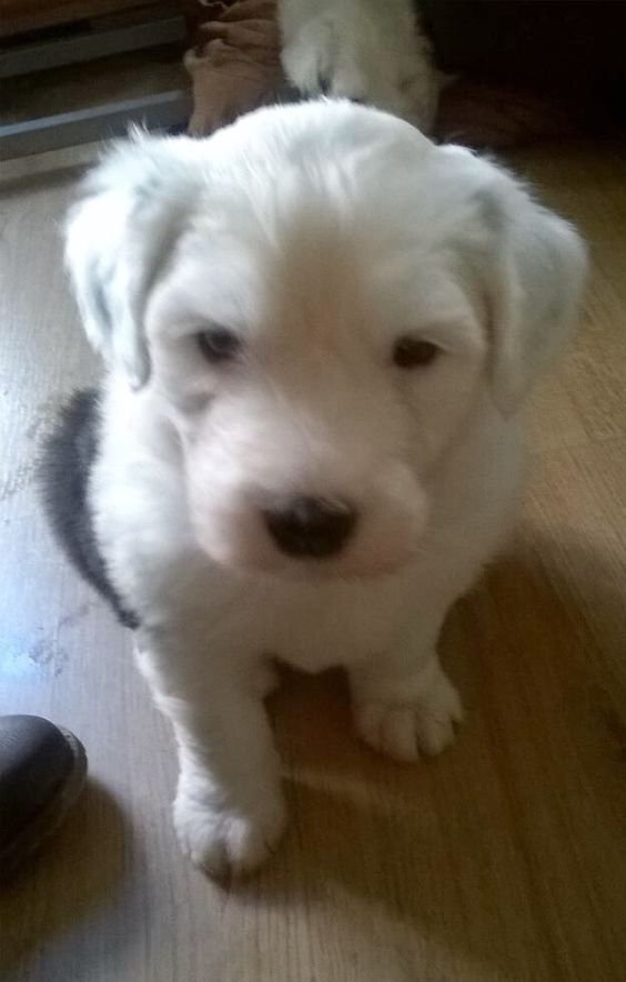 Brèagha at 5 weeks, we'll be collecting her and bringing her home at the end of October. Can't wait!