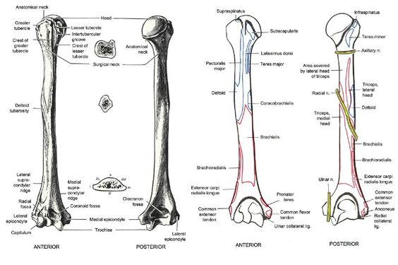 right humerus bone bony landmarks and muscular attachments