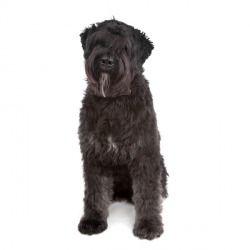 Il Bovaro delle Fiandre è un cane di taglia media dall'aspetto rustico e dalla grande intelligenza. Perfetto anche come cane da guardia, è vivace, allegro e protettivo nei confronti delle persone care.