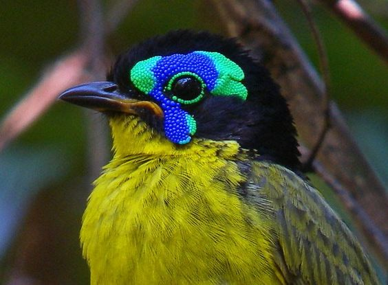 Geslacht Philepitta - Vogelplein BE-NL