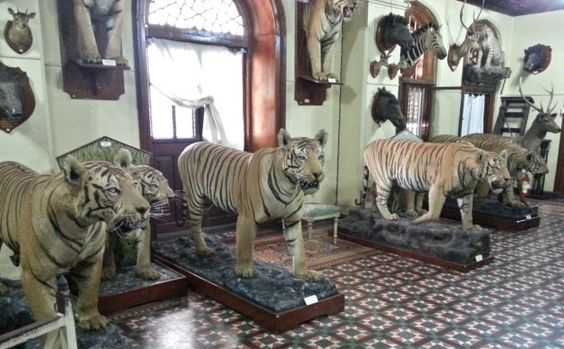 A huge collection of Van Ingen mounts housed at the Mysore Palace. Unfortunately, members of the public are rarely allowed to see this display. Photo by Vikhar Ahmed Sayeed.