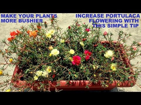 Portulaca Grandiflora How To Grow Moss Rose Rose Moss Button Rose Seeds Care And Propagation Youtube Rose Seeds Planting Roses Plants