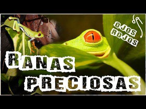Agalychnis callidryas espectaculares - YouTube