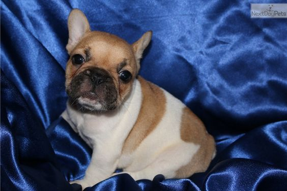 French Bulldog Puppy For Sale Near Fort Collins North Co