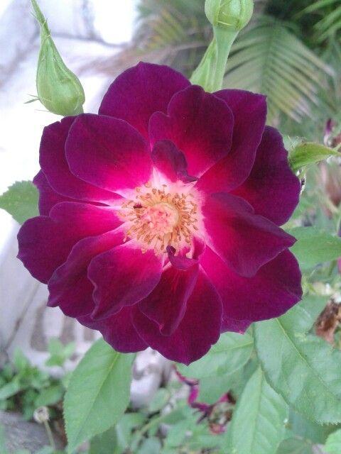 Una bellisima rosa de mi jardin