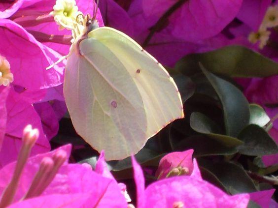 Polychronos - Schmetterling