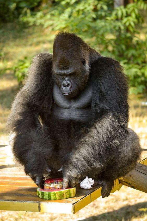 Silverback Djumbah, Nyíregyháza-Sóstó Zoo