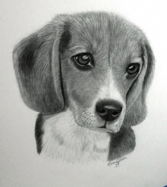 Beagle Friendly And Curious Realistic Animal Drawings Dog