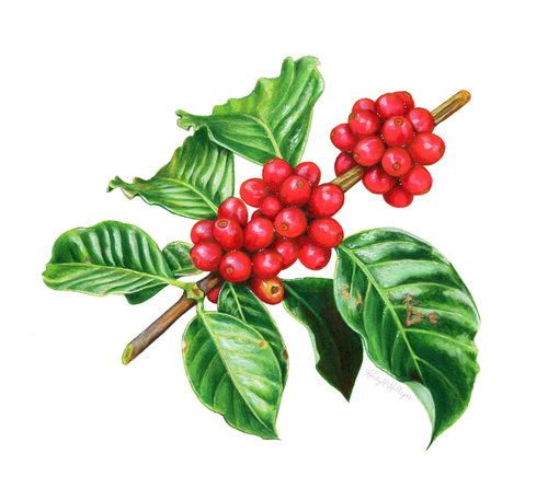 Coffee Cherries Watercolor And Colored Pencil Illustration By Kendyll Hillegas Fruit Illustration Fruit Art Drawings Fruits Drawing