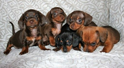 Litter Of 5 Dachshund Puppies For Sale In Lakeside Ca Adn 64427