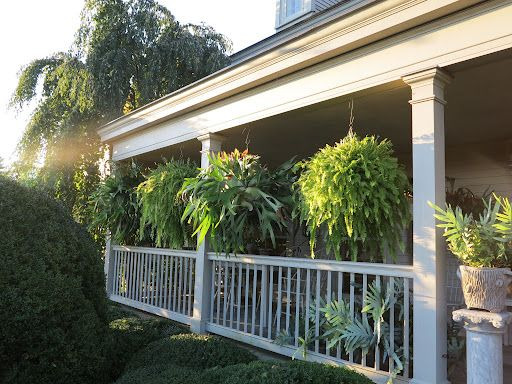 Staghorn Ferns on Martha's Porch