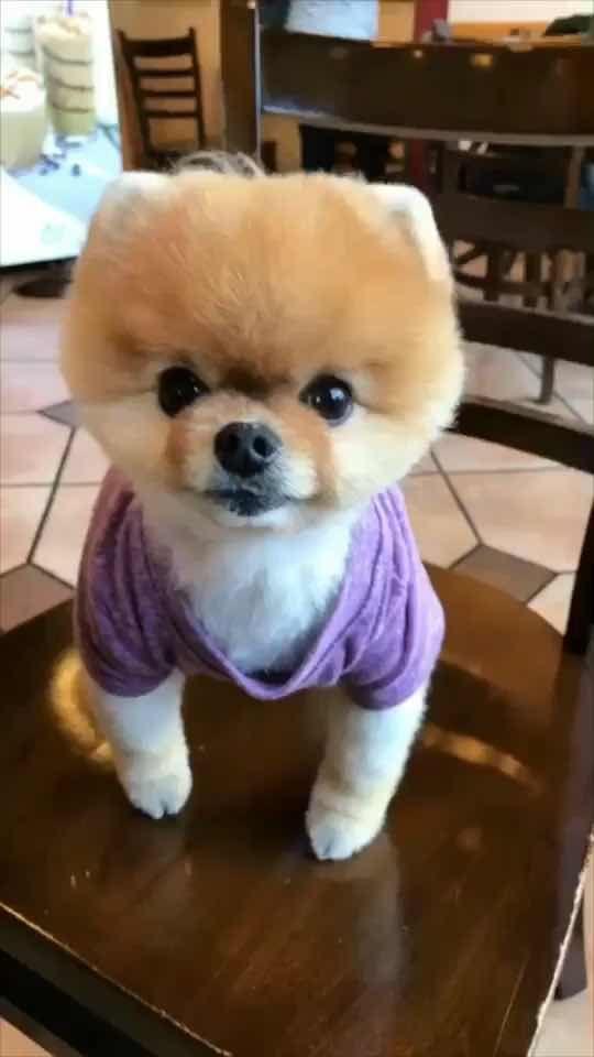 Jiffpom Tiktok Global Video Community Pup Teddy Teddy Bear