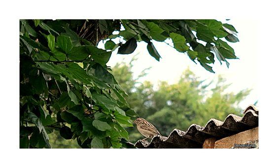 Pássaro - Pardal