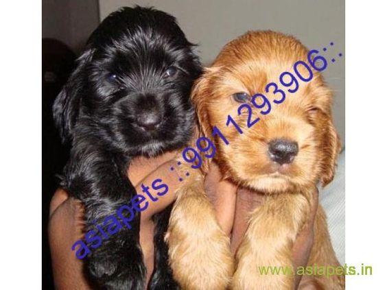 Cocker Spaniel Puppies Price In Kochi Cocker Spaniel Puppies For