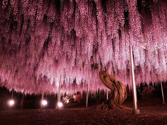 Com 1.990 metros quadrados, esta enorme glicínia é a maior de seu tipo no Japão. 144 anos