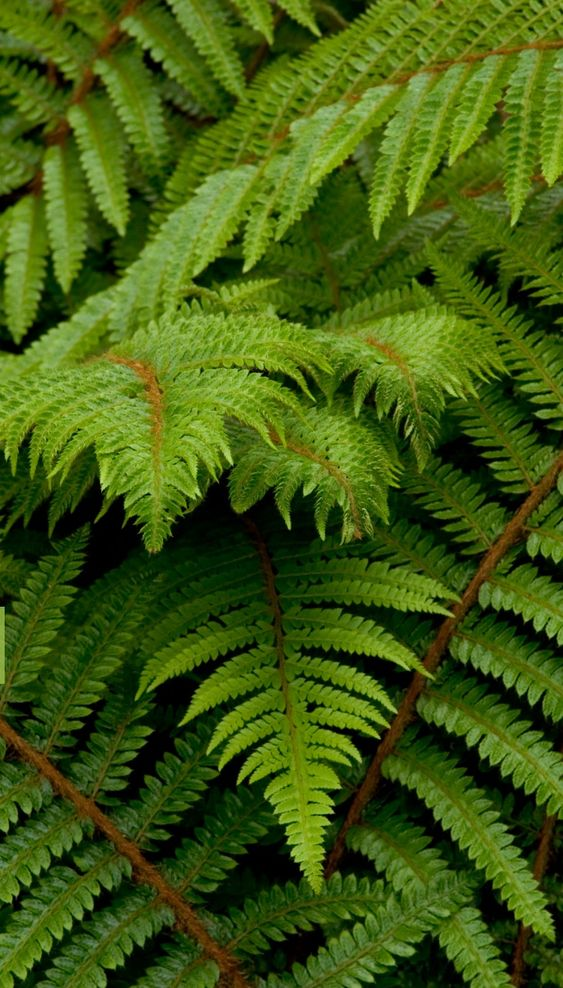 Fern #plants #hardy #garden #gardening #gardenTips  #fern