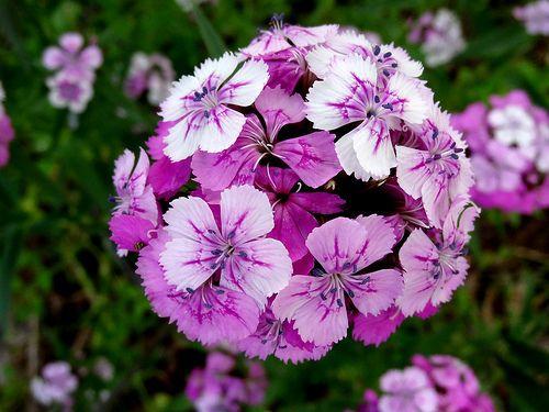 Sweet william, flowers - http://www.1pic4u.com/blog/2014/09/29/sweet-william-flowers/