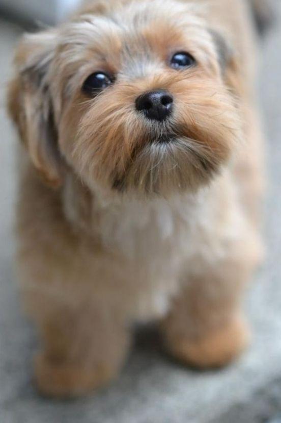 Shorkie Poo Puppies : shorkie, puppies, Puppy