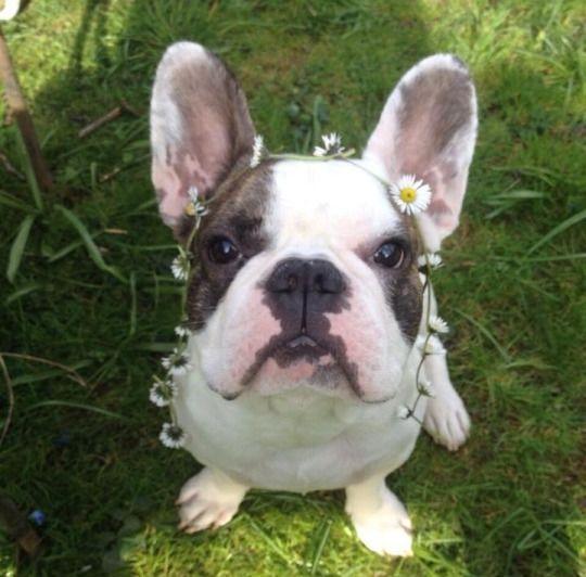 French Bulldog, via the dailyfrenchie