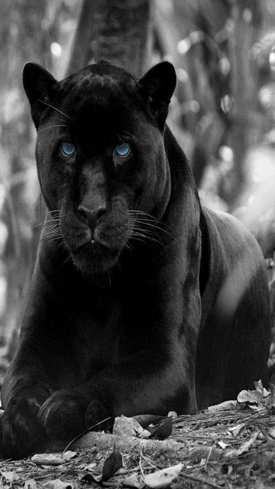 Black Panther Animal Wallpaper Fresh Black Panther Wallpaper Hd Fur Android Apk Herunterladen In 2020 Panther Cat Animals Panther