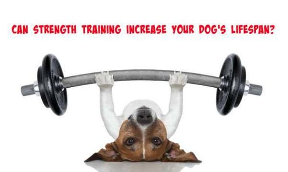 Can Strength Training Increase a Dog's Lifespan? | SlimDoggy