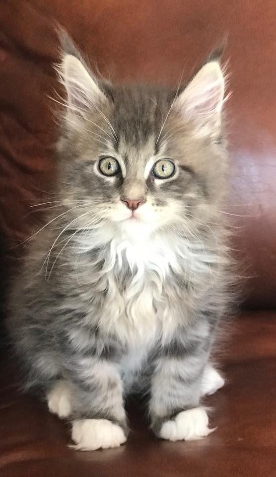 Maine Coon Kittens Colorado : maine, kittens, colorado, Kids,, Dogs,, Animals