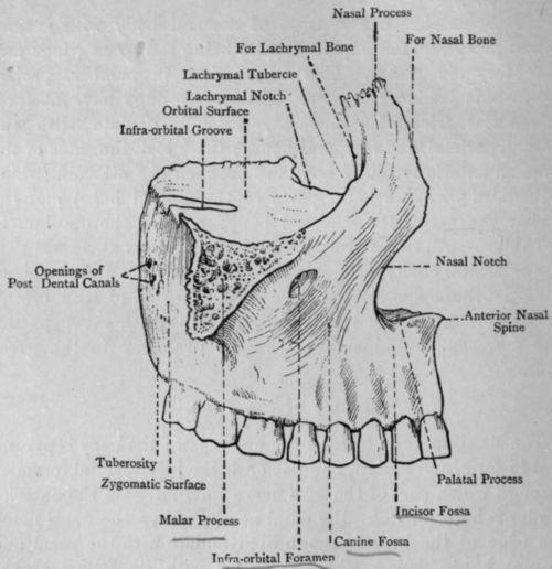 Maxilla - Wikipedia