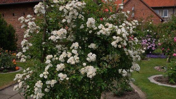 weiße in großen Doldenden blühende Ramblerrose Guirlande d Amour, öfterblühende Sorte im Rosenparadies Loccum