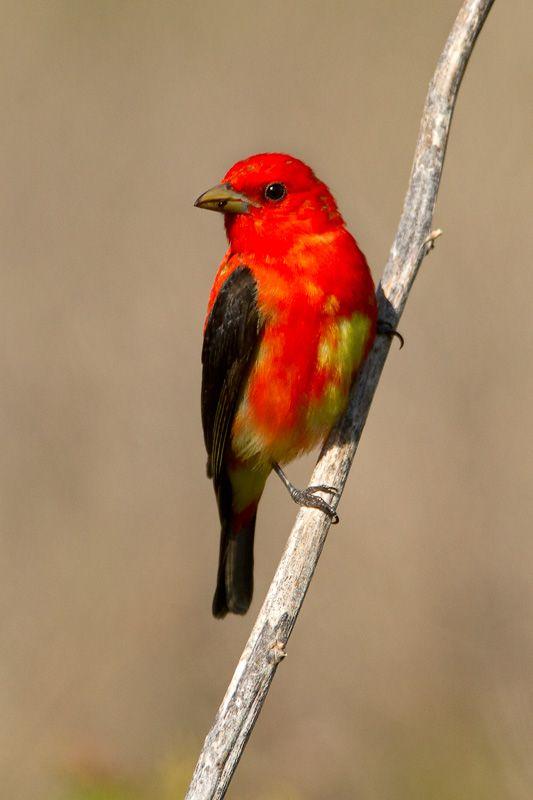 Scarlet Tanager, Piranga olivacea | Neotropical Bird Sanctuary, Quintana,