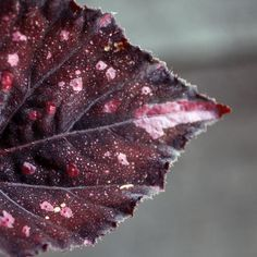 begonia_leaf Photo by Sarah Ryhanen on Flickr