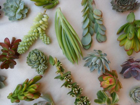 Una colección de 24 suculentas cortes plato por SucculentsGalore