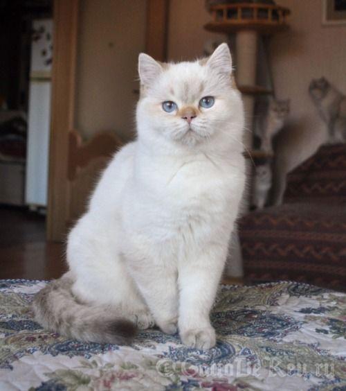 International Champion Quella Vom Koberland Lilac Golden Tabby Point British Shorthair Golden Tabby Tabby British Shorthair Cats