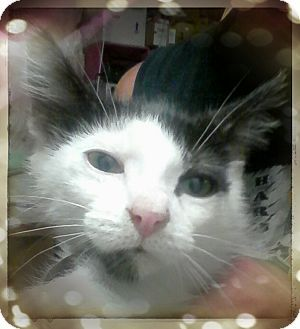 Trevose, PA - Domestic Shorthair. Meet iAN, a kitten for adoption. Facts about Ian Breed: Domestic Shorthair Color: Black & White Or Tuxedo Age: Kitten Sex: Male Hair: Short