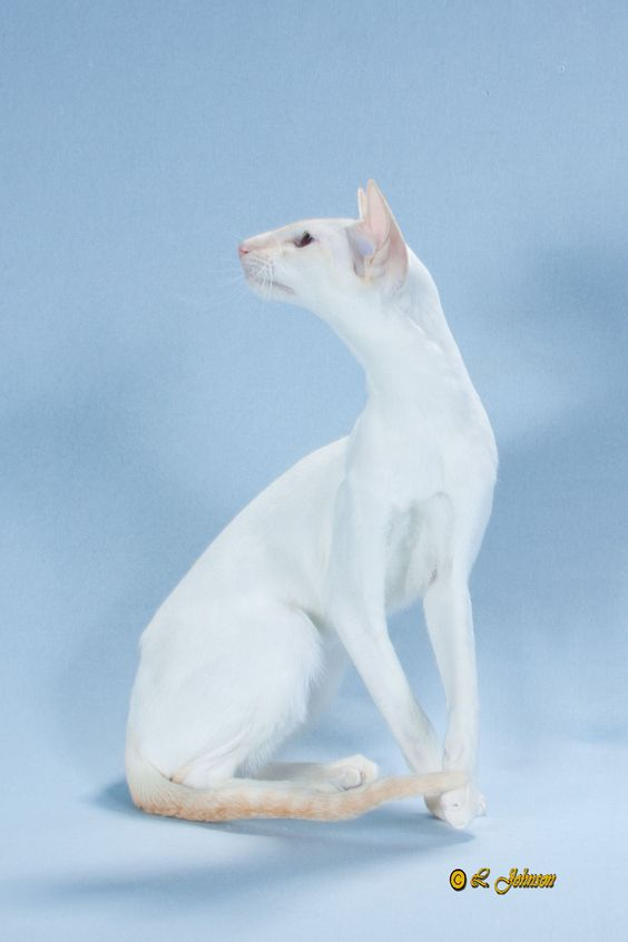 Colorpoint Shorthair  -- absolutely gorgeous!!