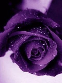 Wish   Purple rose 5 seeds great house patio and garden plant!