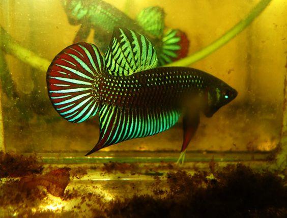 Betta fish in the wild - photo#43