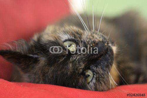 Gatto su cuscino rosso  #occhi #agilità #animali #artigli #baffi #felini #fusa #gatto #gattoeuropeo #gattotigrato #mammiferi #mondoanimale #natura #quattrozampe #scattante #velocità #zampe
