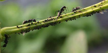 Zwarte reuzenmieren met bonenluizen op sperziebonentak (foto: Jinze Noordijk)