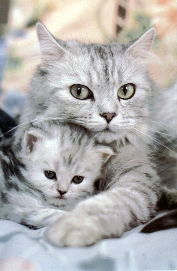 Cat Mom Hugging Her Kitten Socute Catmom Kitty Catfamily With