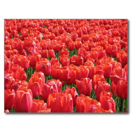 Nature - Red Tulips Carte Postale