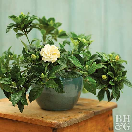 What To Do If The Leaves On Your Gardenia Turn Yellow With Images