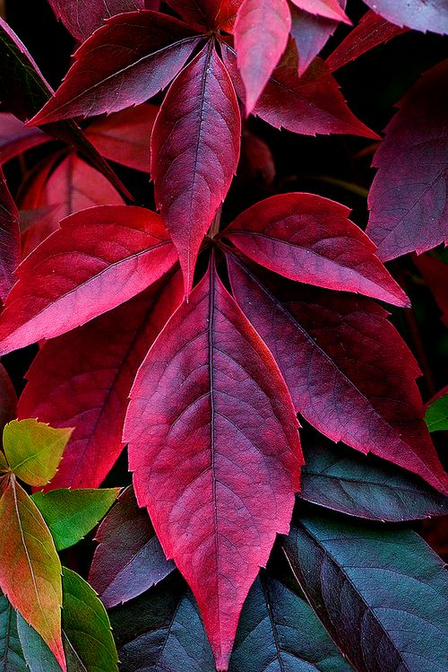 Leaves -  Beautiful Colors -  but I think it's poison Ivy
