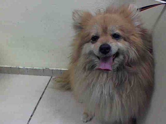 Brooklyn Center Blondie A0996107 Spayed Female Tan White Pomeranian Mix 4 Yrs Stray Onholdhere Hold With Images Pomeranian Mix Animal Shelter Animals