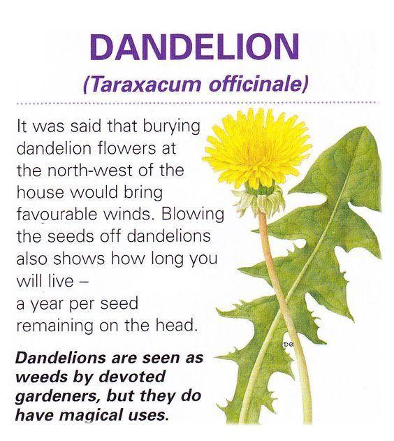 Herb Flower Lore Dandelion Herbalism Magic Herbs Herbs