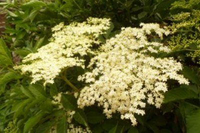 "Der ""Holler"" oder ""Holder"""