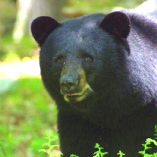 Ben E Bear