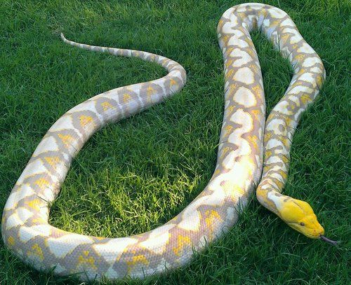 Resultado de imagen de python reticulatus albina