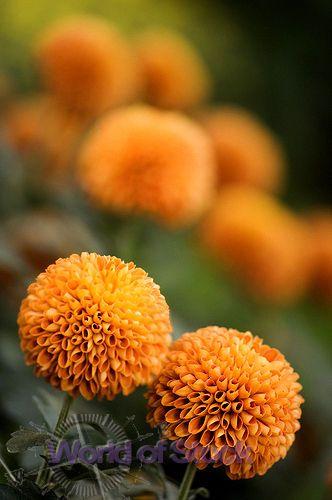 lovely marigolds
